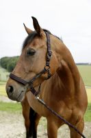 Kerbl Pferdehalfter für GoLeyGo 2.0-System